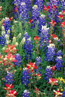 Bluebonnets & Paintbrush