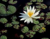 Waterlily 6
