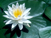 Okefenokee Waterlily